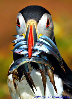 Puffin with sandeels.