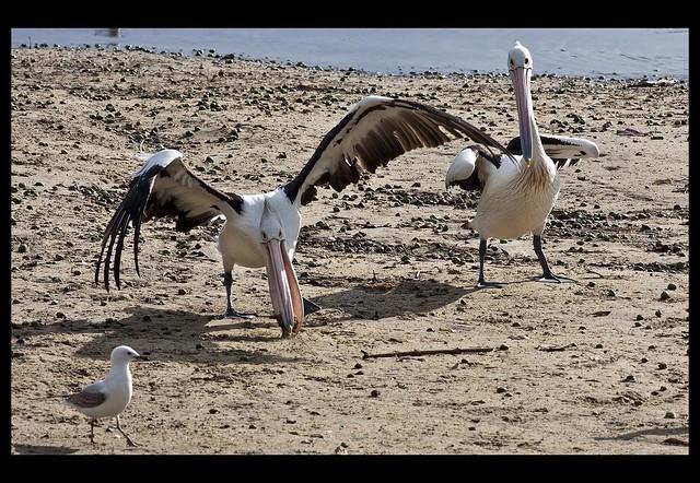 Clontarf pelican grabs a fish head 1 flickr photo for Fish head app