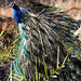 Indian Peafowl (Michael Haley)