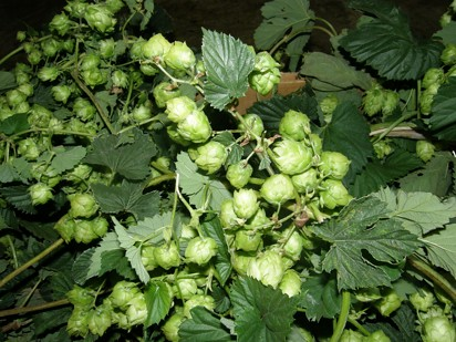 hop vines wholesale floral trade