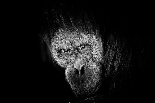 Orang-outang_orangutan