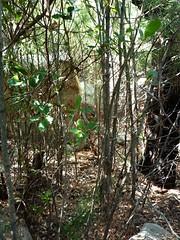 Le combat dans les bois de pins de Cuperchjata