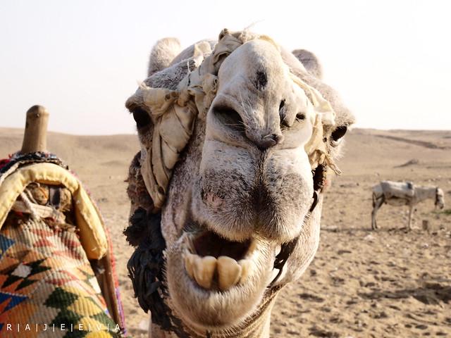 crazy camels
