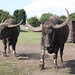 Water Buffalo by Emmy_Animals