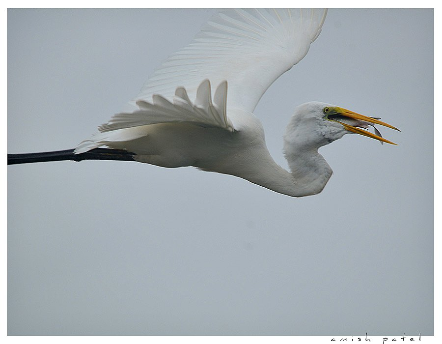 white egret flight