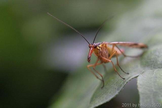 Skorpionsfliege (Panorpidae)
