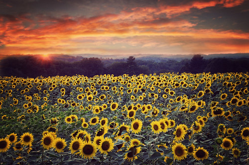 Field of Sunflowers..
