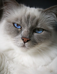 domestic long-haired cat, nose, animal, british semi-longhair, small to medium-sized cats, pet, siberian, ragdoll, close-up, cat, carnivoran, whiskers, balinese, birman, himalayan, domestic short-haired cat,