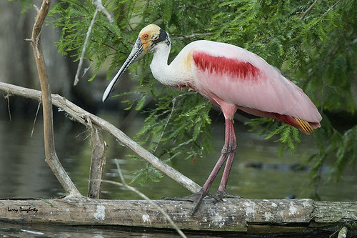 Roseate spoonbill at Jefferson Island, Louisiana.
