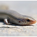 Bedriaga's Skink - Photo (c) J. Gállego, some rights reserved (CC BY-NC-SA)