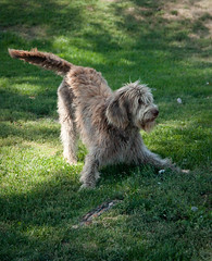 dog breed, animal, dog, pet, polish lowland sheepdog, tibetan terrier, glen of imaal terrier, mammal, irish wolfhound, spinone italiano, bouvier des flandres, catalan sheepdog, irish soft-coated wheaten terrier,
