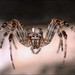 Barn Spider (Araneus cavaticus) on web