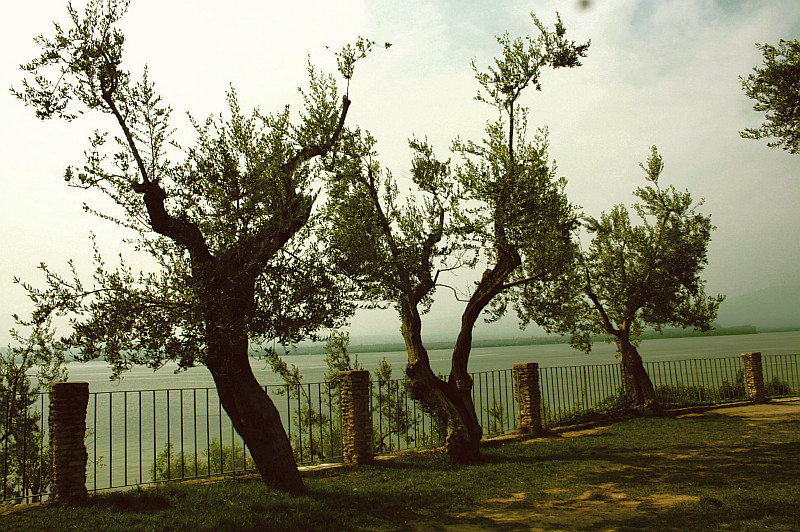 Olive Trees at Lake Garda
