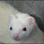 Fur-face Ferret g017