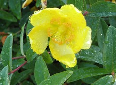 shrub, flower, yellow, plant, wildflower, flora, produce, hypericum,