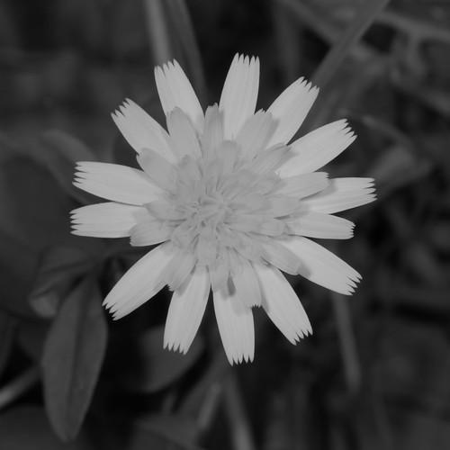 flower blackwhite dandelion seqldaustralia