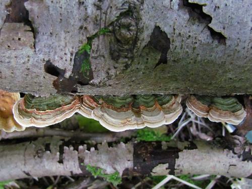 Стереум нежновойлочный (Stereum subtomentosum) Photo by Kari Pihlaviita on Flickr Автор фото: Kari Pihlaviita