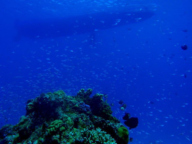 269 blue green damselfish ...