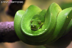 animal, western green mamba, snake, reptile, organism, macro photography, green, fauna, close-up, scaled reptile,