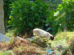 stray Siamese cat wandering the fields