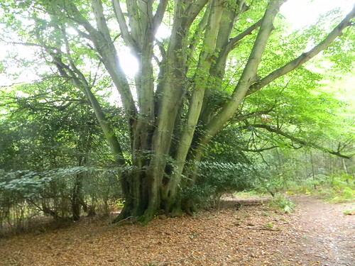 Large coppiced tree