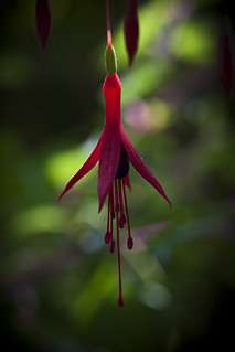 Backlit Fuchsia