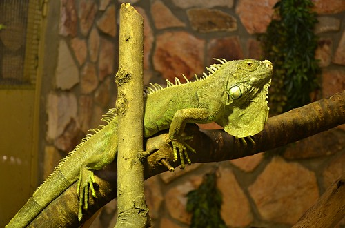 summer green texture nature beauty animal relax nikon colorful europe hungary reptile national iguana nikkor vr magyarország 2011 nyíregyháza 18105mm d5100 nikond5100