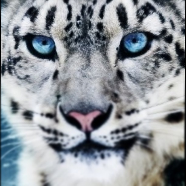 Blue Eyed Snow Leopard | Flickr - Photo Sharing!