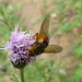 Small photo of Tachina fera . Tachinidae