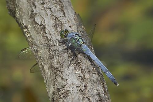 ohio male dragonfly clarksville easternpondhawk cowanlake