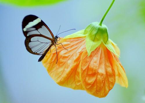 The Glasswinged