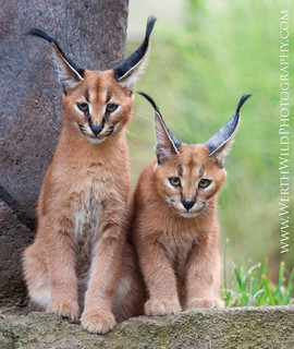Caracal Kittens (Explore)