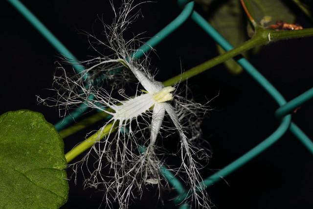Photo:Trichosanthes cucumeroides (Matsudo, Chiba, Japan) By t-mizo