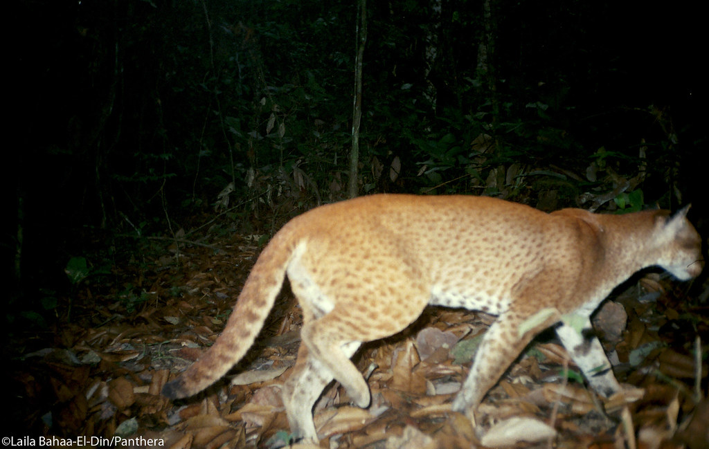 Side view of a reddish-brown hued African golden cat