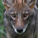 Coyote - Palos Heights by Hard-Rain