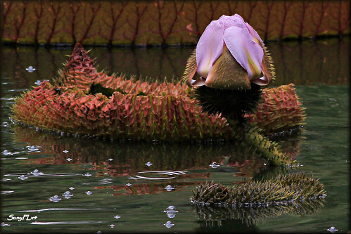 flower nature water strange gardens amazon lily blossom huge unusual thorns lilypads protect worldslargest blooming victoriaamazonica giantlily fragrent boktowergardens giantamazonwaterlily