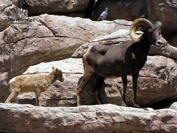 Big Horn Baby And Ram Flickr Photo Sharing