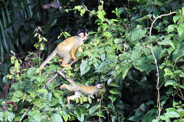 Black-capped squirrel monkeys