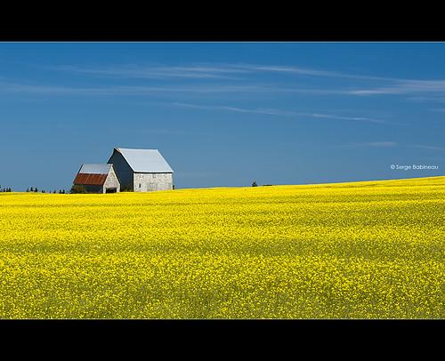 blue sky canada flower field yellow barn farm farmland princeedwardisland agriculture pei freetown