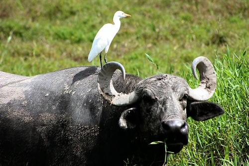 cattle egrets and livestock relationship quiz