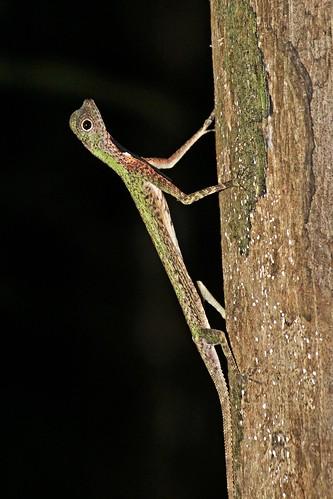 Draco melanopogon