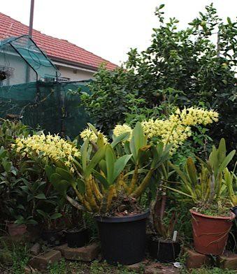 Dendrobium speciosum 'Doug'