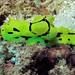Small photo of Sea Slug (Aegires minor)