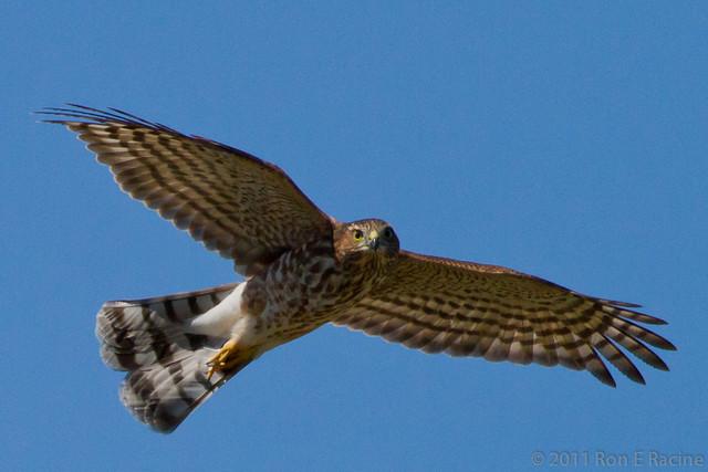 sharpshinned hawk in flight flickr photo sharing