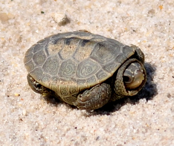 Baby Terrapin : Baby Terrapin turtle. East Point Beach. Jim Maddox, Leeds ? Flickr ...