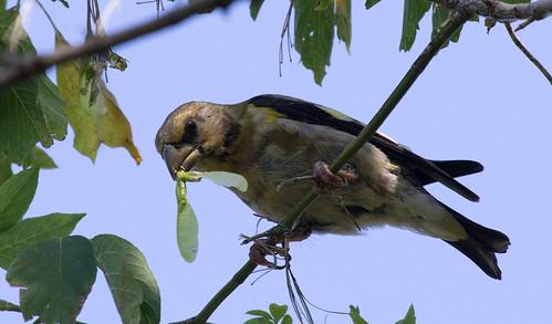 Evening Grosbeak in box elder tree