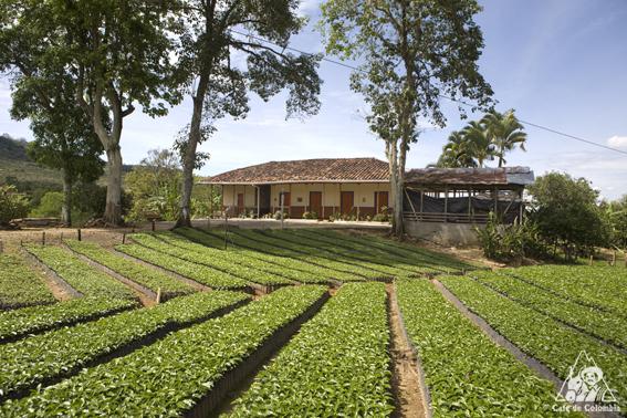 Imagen de una casona típica en medio de colinos de café