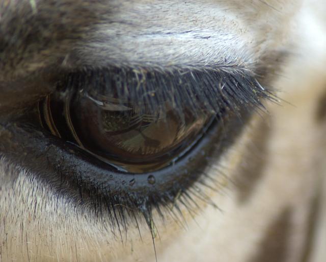 Giraffe eye 1