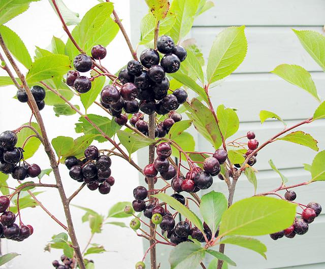 aronia 39 viking 39 berries flickr photo sharing. Black Bedroom Furniture Sets. Home Design Ideas