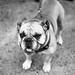 greenwich village nyc - bulldog - butch